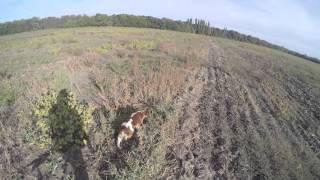 Открытие охоты на куропатку с британским эпаньольом