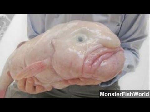 Blobfish Named World's Ugliest Animal