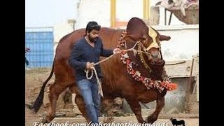 Top #3 Funny Cow videos | Cow Mandi Pakistan