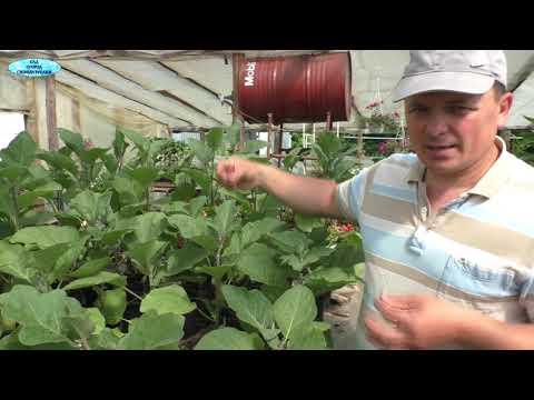 Посадите перец и баклажаны именно так и будете с большим урожаем!(проверено!)