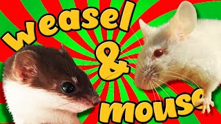 2х-месячный детёныш ласки и мышь - Two month old baby weasel(Mustela Nivalis) and mouse.