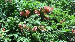 Trumpet Vine Humming Bird Plant