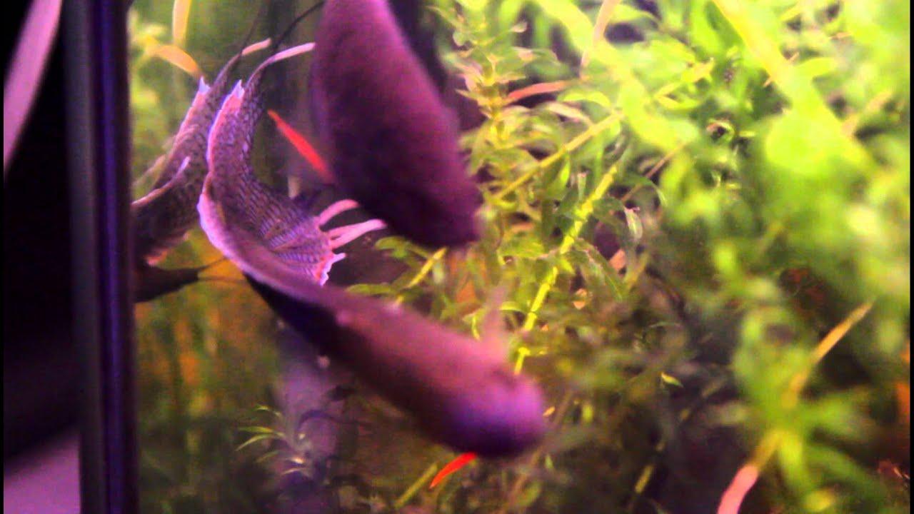 рыбки макроподы фото