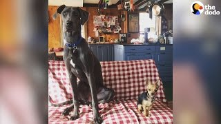 Tiny Dog, Giant Great Dane Are Best Friends | The Dodo