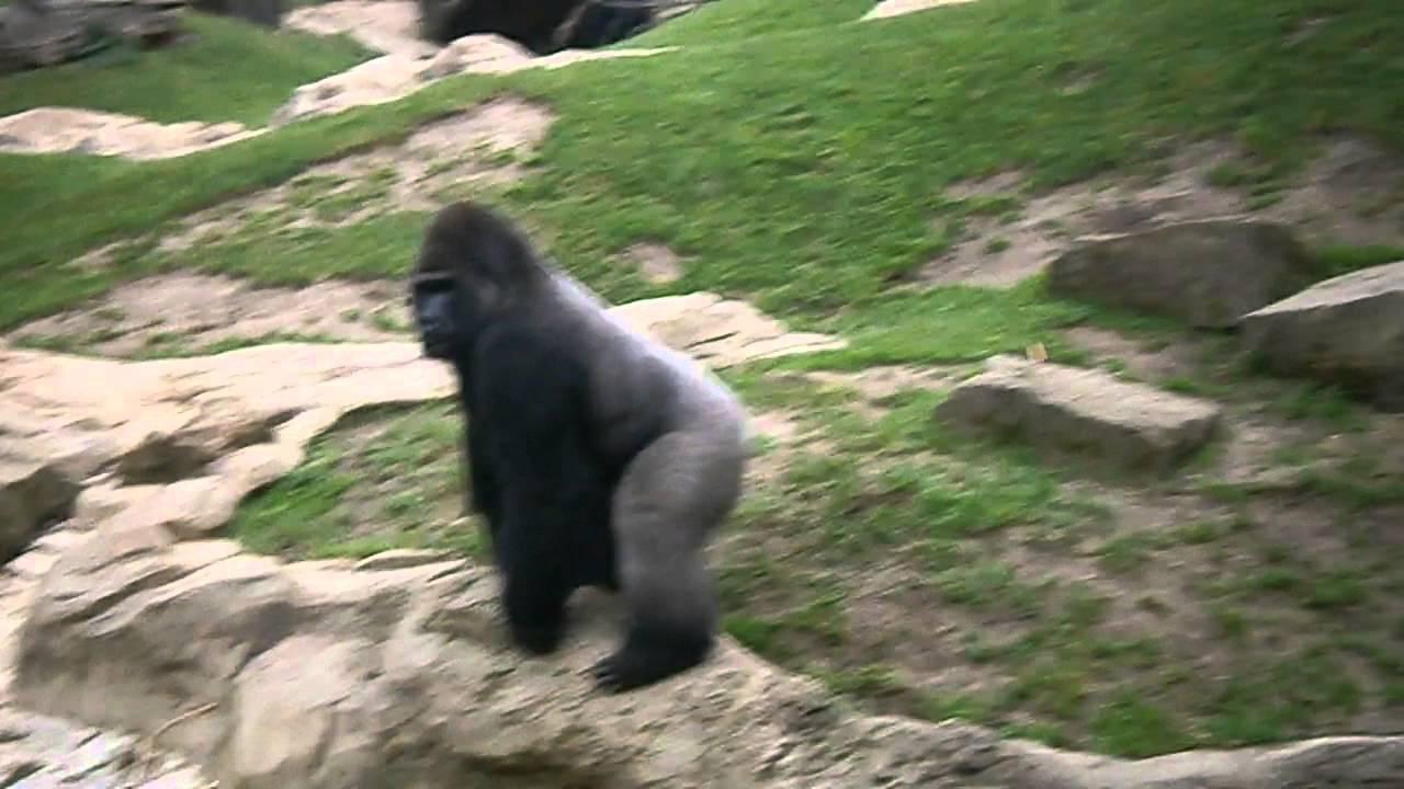 Gorilla Throwing Poop Youtube
