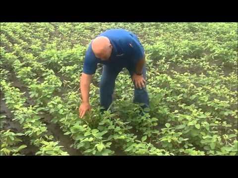 Mike Wilson Soybean Association Crop Stress