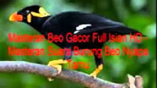 Masteran Beo Gacor Full Isian HD - Masteran Suara Burung Beo Nyapa Tamu