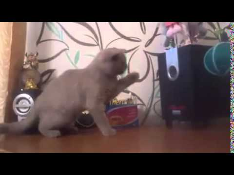 Cat Tries to Catch the Bass