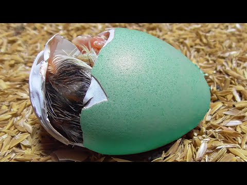 5 Ways To Tell If Your Goose Is PREGNANT from YouTube · Duration:  4 minutes 53 seconds