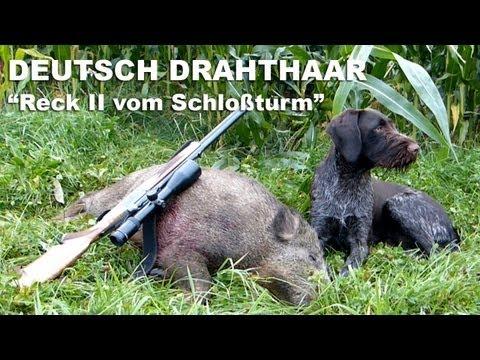 Jagdhunde - Nachsuche Sau - Deutsch Drahthaar - Hunting Dogs Seeking Boar -German Wirehaired Pointer