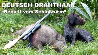 Jagdhunde - Nachsuche Sau - Deutsch Drahthaar - Hunting Dogs Seeking Boar -German Wirehaired Pointer