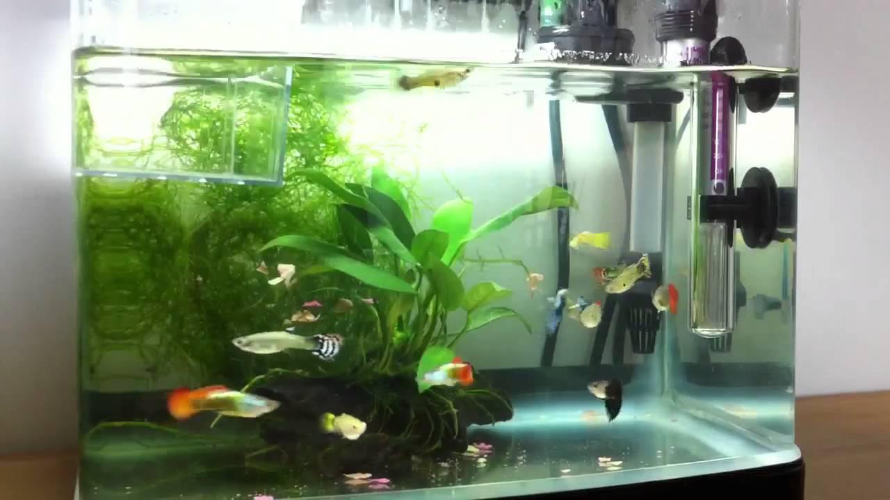 My guppy tank setup youtube for Fancy fish tanks