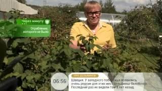 Лечебный чай из листьев малины поможет при расстройстве кишечника