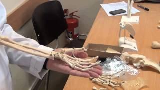 Кости верхней конечности 1