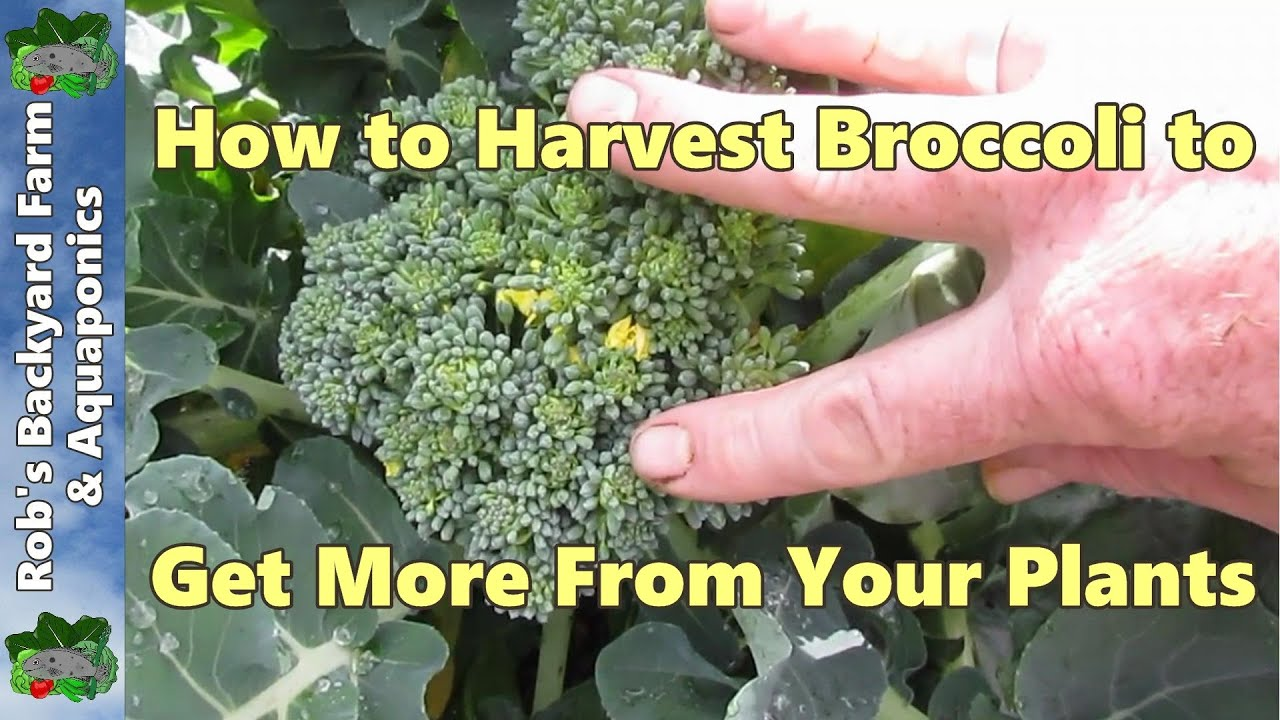 How To Harvest Broccoli To Get More From Your Plants Youtube