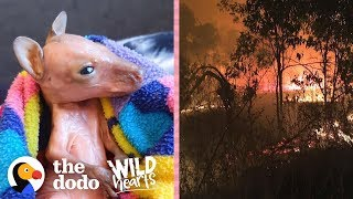Tiny Pink Baby Wallabies Are Being Saved From The Australia Fires    The Dodo Wild Hearts