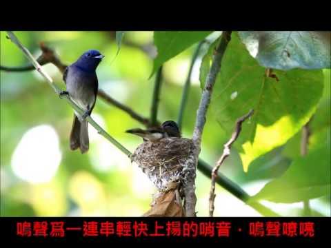 網路攝影展-鳥松濕地黑枕藍鶲