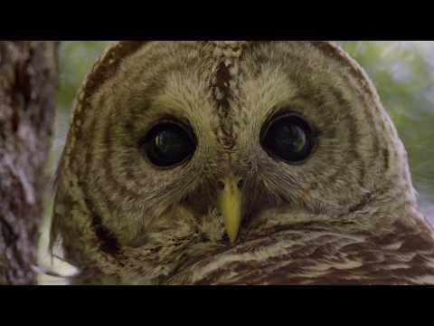 Majestic Barred Owls Take Flight   #HelloSpringCBC