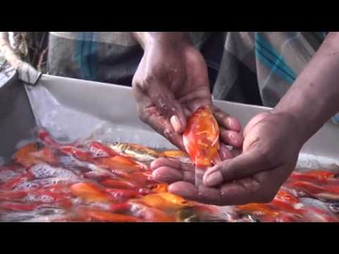 Starting a Business - Koi Fish Farming Business Ideas and Fish Aquarium Farming Project