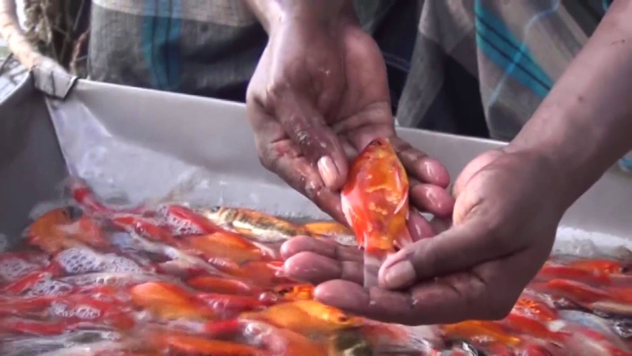 Starting a Business - Koi Fish Farming Business Ideas and Fish Aquarium Farming Project - YouTube
