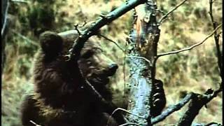 A fight between a grizzly and a black bear.