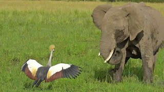 Brave Bird Chases Elephants from Nest