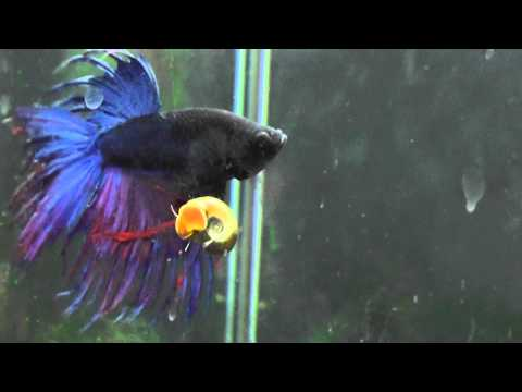 Betta Vs Snail