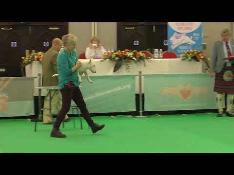 Miniature Bull Terrier Magnus Lafenice Joey Tribiani Dog show