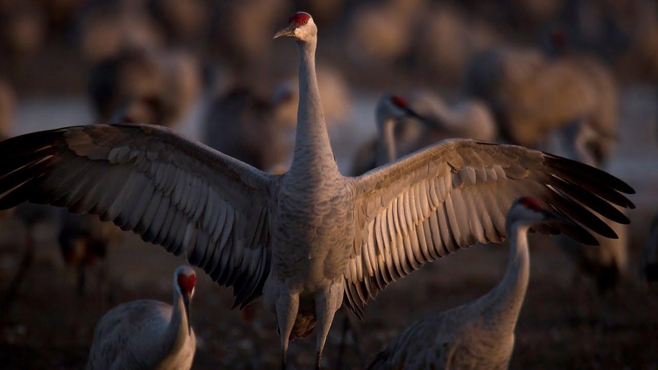 Sandhill Crane National Geographic >> Sandhill Cranes The Great Migration Youtube