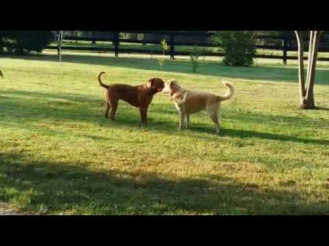 Jack the Dogue de Bordeaux welcomes Rascal the foster
