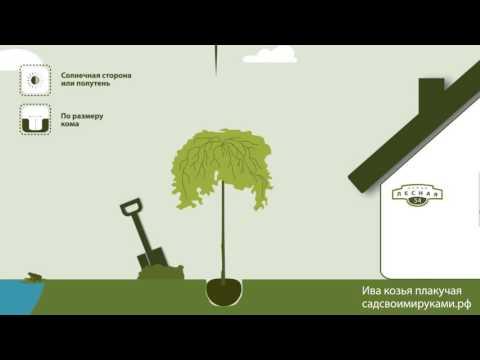 Ива козья - Ива - Лиственные деревья и кустарники