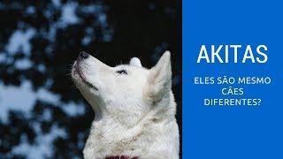 Akitas são mesmo cães diferentes? Os treinos devem ser os mesmos?