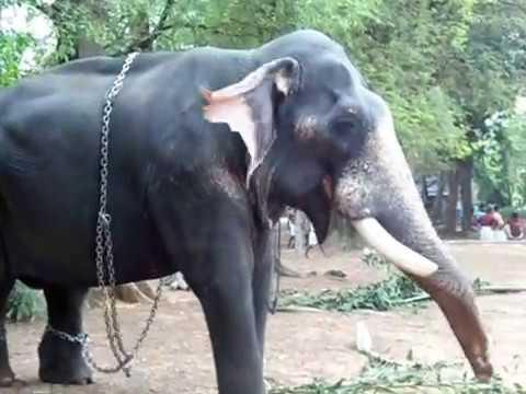 Pallathamkulangara Gireesan /elephant /Popular pooram ...