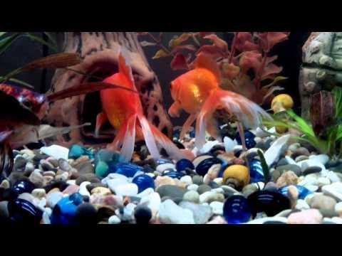 Золотая рыбка спит :) Аквариум.