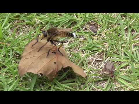 Shioya-abu robber fly (Promachus yesonicus)