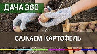 Сажаем картофель - ДАЧА 360