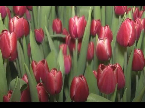 Тунскинские тюльпаны видеосюжет