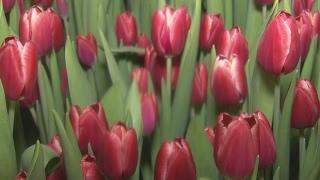 Тункинские тюльпаны