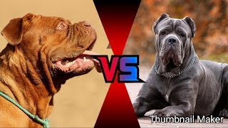 Бурбуль против Кане корсо. Boerboel against Cane Corso. Собаки.