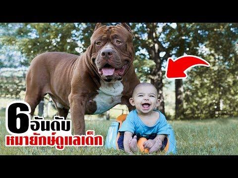 6 สุนัขพันธุ์ยักษ์! ที่จ้างมาเป็นพี่เลี้ยงเด็ก (ทั้งดุและใหญ่!!)