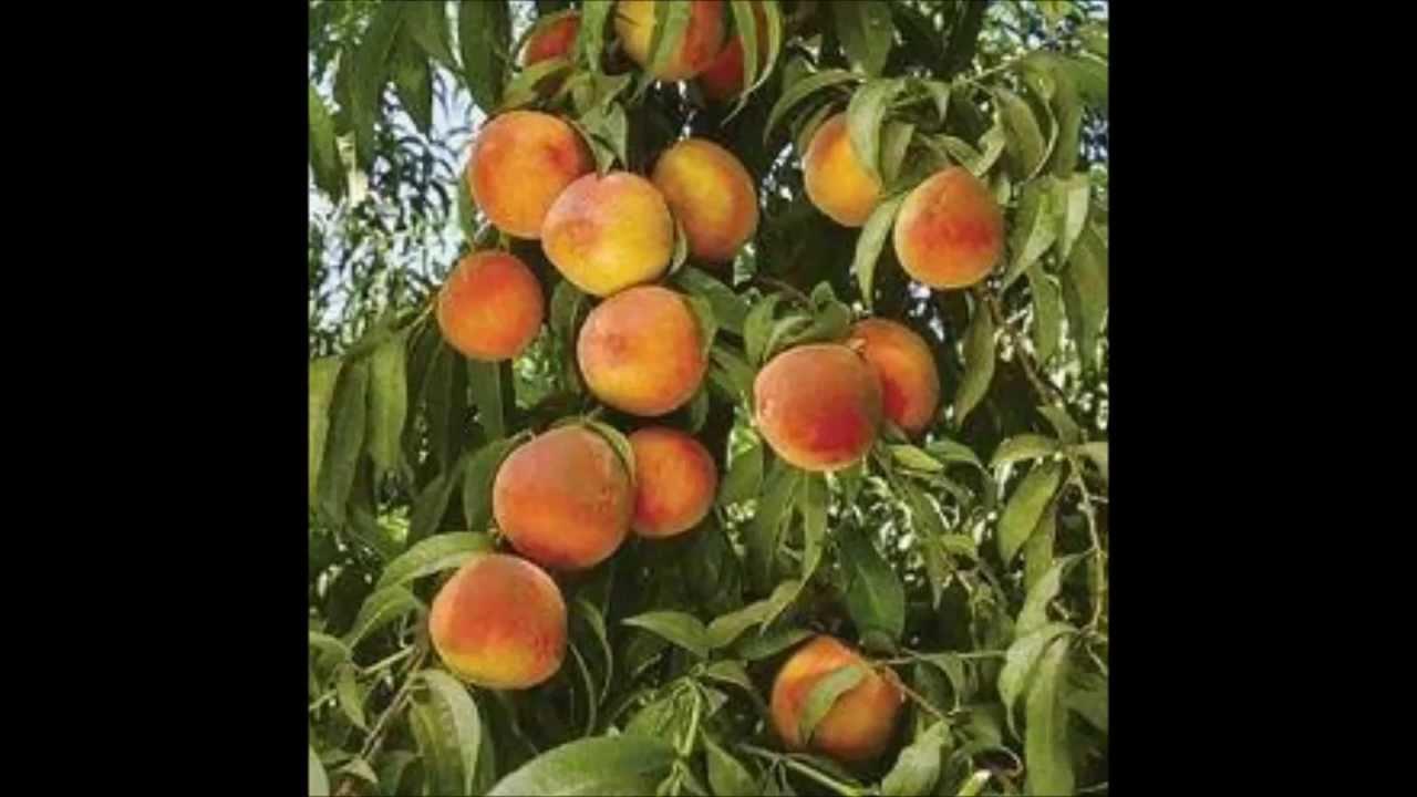 Arboles frutales y frutas youtube for Arboles frutales