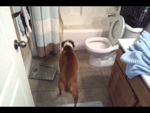 Smart Boxer dog knows when it's time for a bath.
