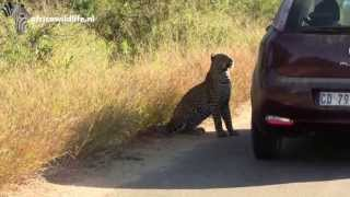 Leopard likes vehicle