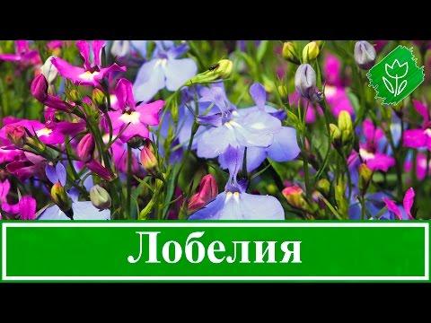 Цветок лобелия – выращивание из семян, посадка и уход
