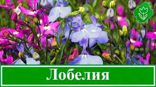 видео Лобелия эринус: фото, сорта, выращивание из семян, посадка, уход