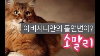 [고양이 소개] 아비시니안의 돌연변이라고? 소말리에 대한 모든것