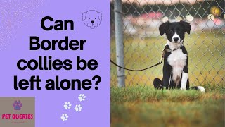 Can border collies be left alone? | Can Border collies be left alone outside? |
