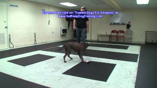 Silver Lab For Adoption - Dog Training Support By K9-1.com