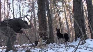 История одной охоты на куницу с лайками