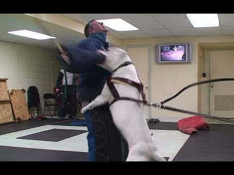 Training Personal Protection Dogs To Protect Themselves! (K9-1.com)